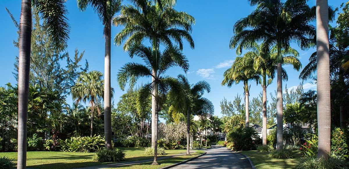 Palms along Driveway